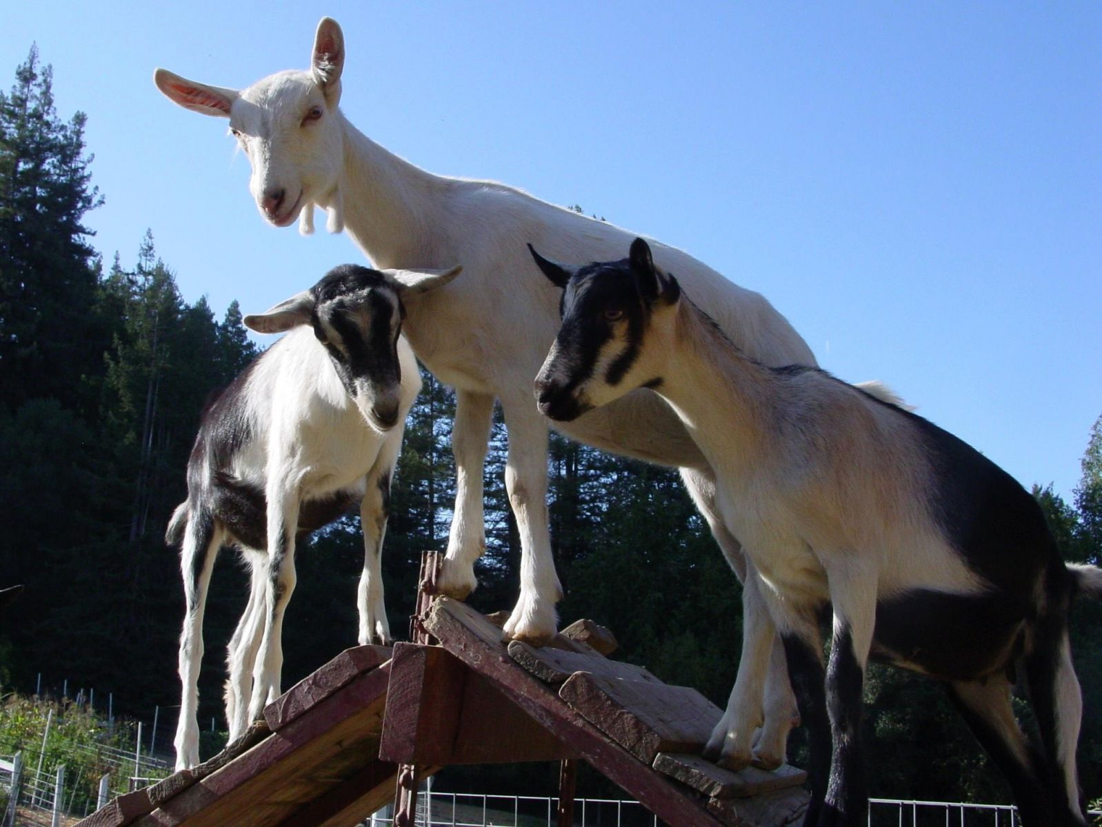5th Annual Goat Festival In San Francisco